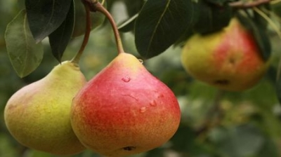 Bulgarian Pear Production 2017/18 - 42 Percent Increase
