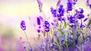 Bulgaria - world's 1st producer of lavender oil this year
